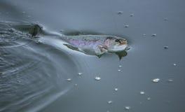 πέστροφα αλιείας Στοκ εικόνα με δικαίωμα ελεύθερης χρήσης