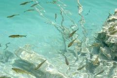 πέστροφα εικόνας ψαριών υπ& Στοκ εικόνα με δικαίωμα ελεύθερης χρήσης