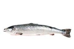 Πέστροφα θάλασσας που απομονώνεται στο λευκό Στοκ εικόνα με δικαίωμα ελεύθερης χρήσης