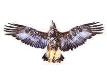 πέταγμα αετών χρυσό Στοκ φωτογραφία με δικαίωμα ελεύθερης χρήσης