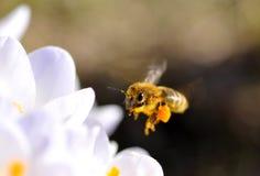 πέταγμα μελισσών στοκ εικόνες με δικαίωμα ελεύθερης χρήσης