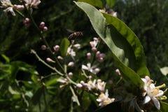 πέταγμα μελισσών Στοκ εικόνα με δικαίωμα ελεύθερης χρήσης