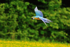 Πέταγμα μπλε-και-κίτρινο ararauna Macaw - Ara Στοκ Φωτογραφία