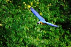 Πέταγμα μπλε-και-κίτρινο ararauna Macaw - Ara Στοκ Εικόνα