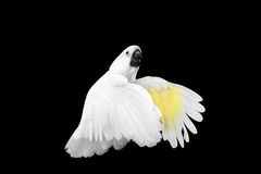 Πέταγμα λοφιοφόρο Cockatoo alba, ομπρέλα, Ινδονησία, που απομονώνεται στο μαύρο υπόβαθρο Στοκ Εικόνα