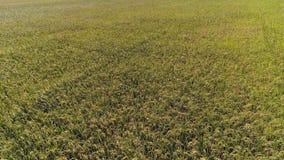 Πέταγμα πέρα από τους τομείς ρυζιού φιλμ μικρού μήκους
