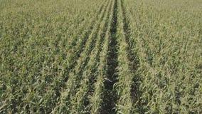 Πέταγμα πέρα από cornfield φιλμ μικρού μήκους