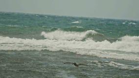 Πέταγμα πελεκάνων σε αργή κίνηση Καραϊβικός πελεκάνος που πετά πέρα από τη θύελλα θάλασσας, telephoto Δομινικανό Republick απόθεμα βίντεο