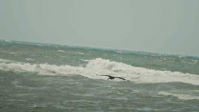 Πέταγμα πελεκάνων σε αργή κίνηση Καραϊβικός πελεκάνος που πετά πέρα από τη θύελλα θάλασσας Δομινικανό Republick απόθεμα βίντεο