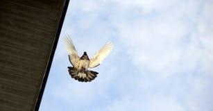 Πέταγμα πουλιών περιστεριών ζωικό αστείο θέμα κουταβιών χλόης Στοκ εικόνες με δικαίωμα ελεύθερης χρήσης
