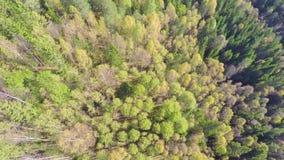 Πέταγμα υψηλό επάνω από το μεγάλο κομψό δάσος δέντρων με τη βράση καμερών απόθεμα βίντεο