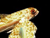 πέταγμα ψαριών Στοκ φωτογραφίες με δικαίωμα ελεύθερης χρήσης