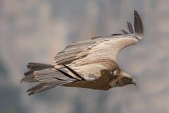Πέταγμα Griffin στο φαράγγι Verdon Στοκ Εικόνες