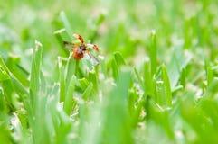 πέταγμα ladybug Στοκ Εικόνες