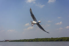Πέταγμα seagull Στοκ εικόνα με δικαίωμα ελεύθερης χρήσης