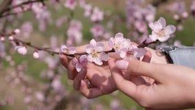Πέταλα ανθών κερασιών σε έναν φοίνικα κοριτσιών ` s απόθεμα βίντεο