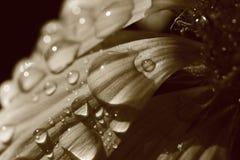 Πέταλα coverd από τις πτώσεις βροχής Στοκ Εικόνες