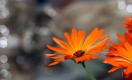 Πέταλα marigold του λουλουδιού Στοκ Φωτογραφίες