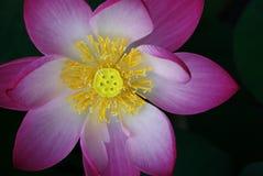 Πέταλο λουλουδιών Lotus Στοκ Εικόνες