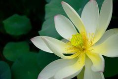 Πέταλο λουλουδιών Lotus Στοκ Φωτογραφίες