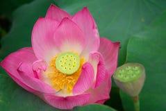 Πέταλο λουλουδιών Lotus Στοκ εικόνα με δικαίωμα ελεύθερης χρήσης