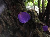 Πέταλο λουλουδιών Urvilleana Tibouchina που βρίσκεται στο βρύο στις ρίζες δέντρων στο εθνικό πάρκο ηφαιστείων της Χαβάης στο μεγά Στοκ Εικόνες