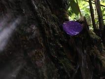Πέταλο λουλουδιών Urvilleana Tibouchina που βρίσκεται στο βρύο στις ρίζες δέντρων στο εθνικό πάρκο ηφαιστείων της Χαβάης στο μεγά Στοκ φωτογραφία με δικαίωμα ελεύθερης χρήσης