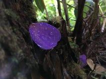 Πέταλο λουλουδιών Urvilleana Tibouchina που βρίσκεται στο βρύο στις ρίζες δέντρων στο εθνικό πάρκο ηφαιστείων της Χαβάης στο μεγά Στοκ Φωτογραφίες