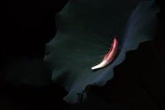 πέταλο λωτού Στοκ Φωτογραφία