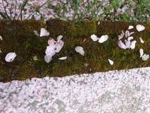 Πέταλα ανθών κερασιών Στοκ Φωτογραφία