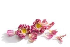 Πέταλα και πέρασμα Lotus ευρέως σε ένα άσπρο υπόβαθρο Στοκ Φωτογραφίες