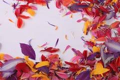 Πέταλα λουλουδιών χρώματος Στοκ Εικόνες
