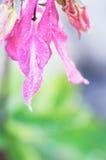 Πέταλα λουλουδιών Aquilegia που καλύπτονται από τις πτώσεις νερού στο θολωμένο κλίμα Στοκ φωτογραφίες με δικαίωμα ελεύθερης χρήσης