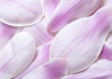 Πέταλα λουλουδιών Magnolia Στοκ Εικόνες