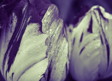 Πέταλα τουλιπών με την κινηματογράφηση σε πρώτο πλάνο σταγόνων βροχής Στοκ Εικόνα