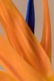 Πέταλα των reginae Strelitzia, λουλούδι πουλιών του παραδείσου Στοκ εικόνες με δικαίωμα ελεύθερης χρήσης