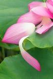 Πέταλα Lotus Στοκ εικόνα με δικαίωμα ελεύθερης χρήσης