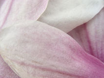 Πέταλα Magnolia στοκ εικόνες