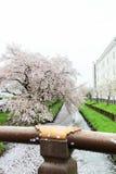 Πέταλα Sakura που καλύπτουν τον ποταμό Shingashi σε Kawagoe, Σαϊτάμα, Ιαπωνία την άνοιξη Δημιουργήστε τον όμορφο ανοικτό ροζ τάπη στοκ εικόνες