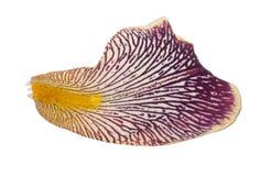 Πέταλο της Iris Μακροεντολή στοκ φωτογραφία με δικαίωμα ελεύθερης χρήσης