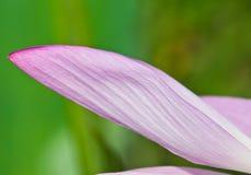 Πέταλο Lotus Στοκ φωτογραφία με δικαίωμα ελεύθερης χρήσης