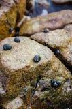 Πέτρα οστρακόδερμων Στοκ εικόνα με δικαίωμα ελεύθερης χρήσης