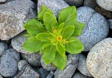 πέτρα φυτών Στοκ Φωτογραφίες