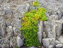 πέτρα φυτών Στοκ εικόνες με δικαίωμα ελεύθερης χρήσης