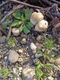 Πέτρες και μανιτάρια στις τράπεζες Mures Rive ρ Arad, Ρουμανία Στοκ Εικόνες