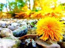 Πέτρες και λουλούδι Στοκ Εικόνες