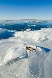 Πέτρες στον πάγο στη θάλασσα της Βαλτικής Στοκ φωτογραφία με δικαίωμα ελεύθερης χρήσης