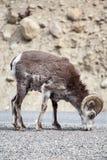 Πέτρινα πρόβατα στοκ φωτογραφία με δικαίωμα ελεύθερης χρήσης