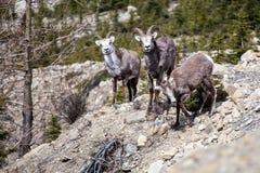 Πέτρινα πρόβατα στοκ φωτογραφίες