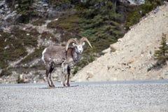 Πέτρινα πρόβατα στοκ εικόνα